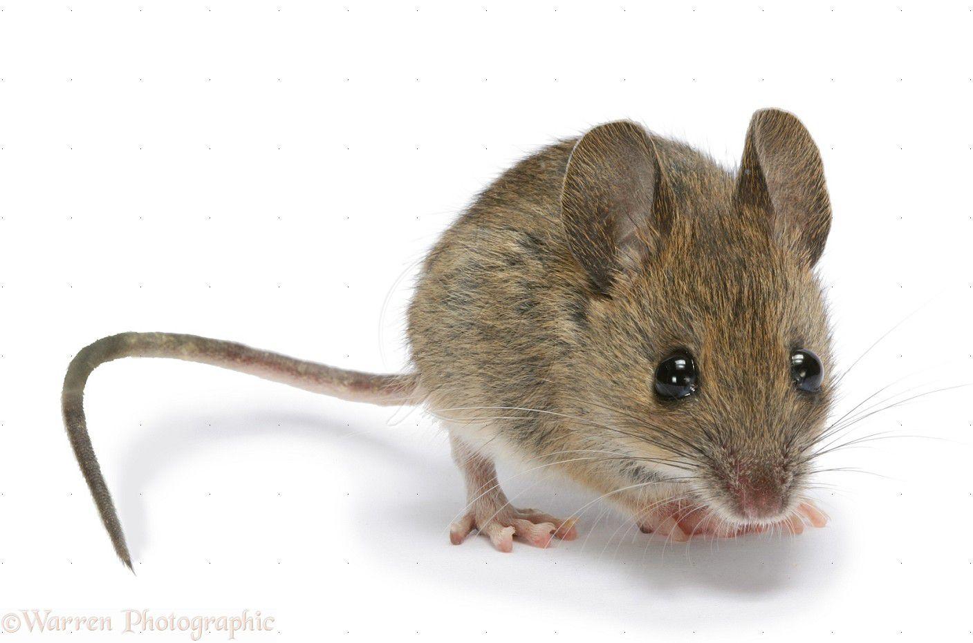 Natuurinformatie - De muis: proefdier bij uitstek